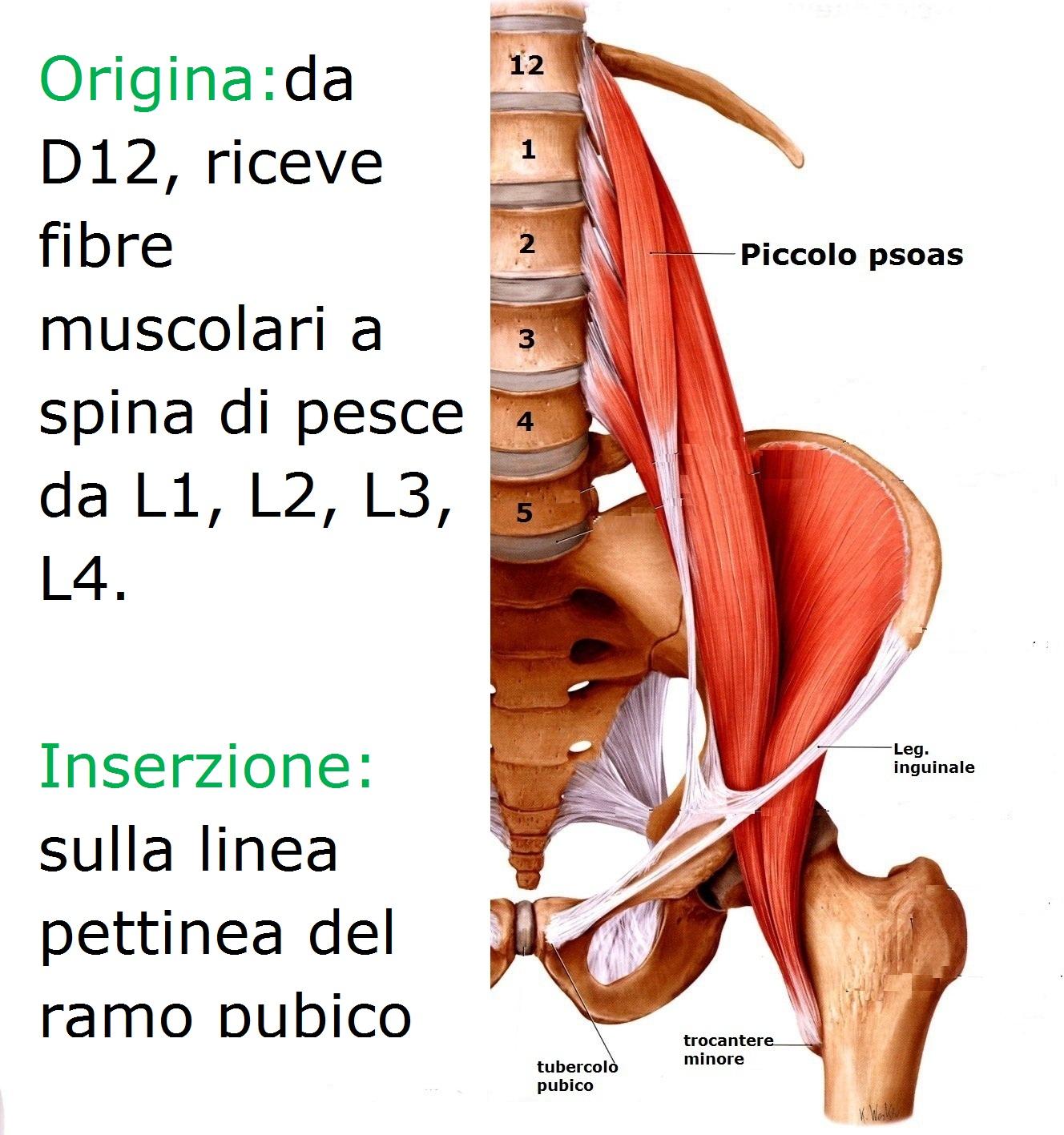 Iliaco e psoas muscolo